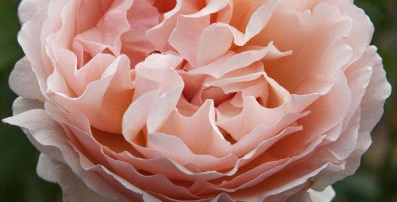 Princesse Charlène de Monaco rosier buisson