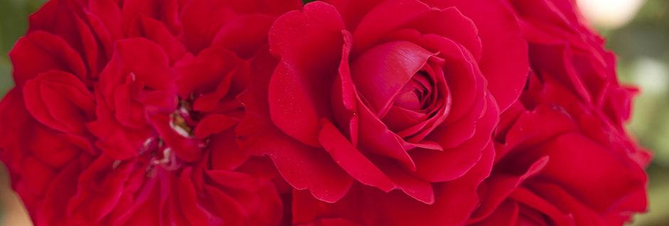 Mona Lisa rosier buisson