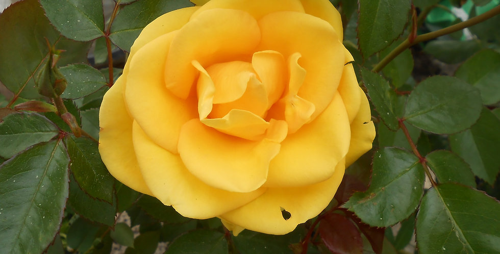 Rayon de Soleil rosier buisson