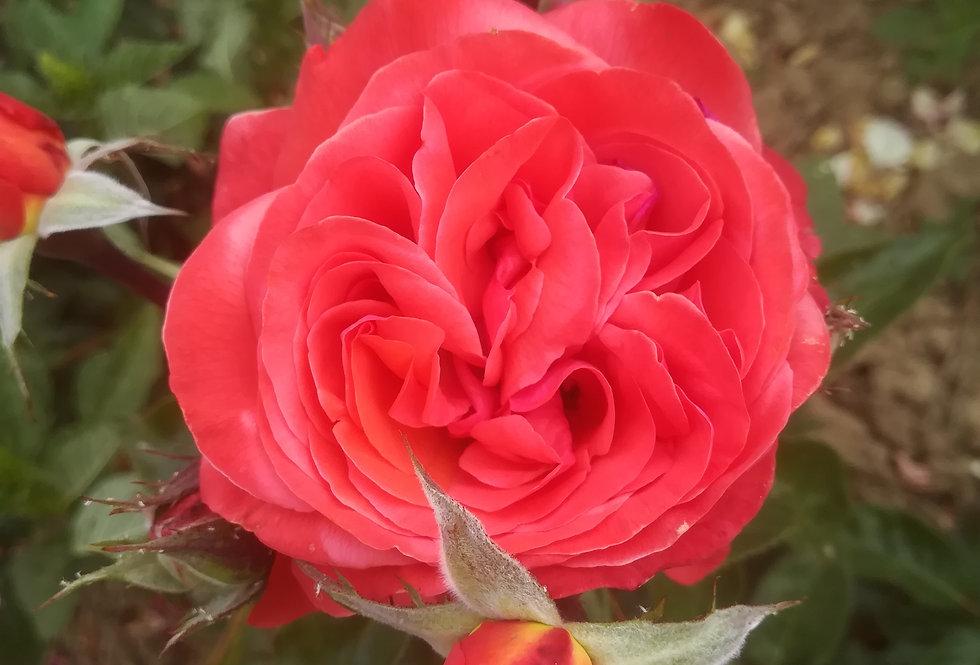 Gaelle rosier buisson