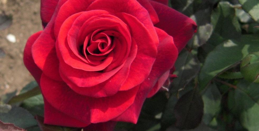 Magie Noire rosier buisson