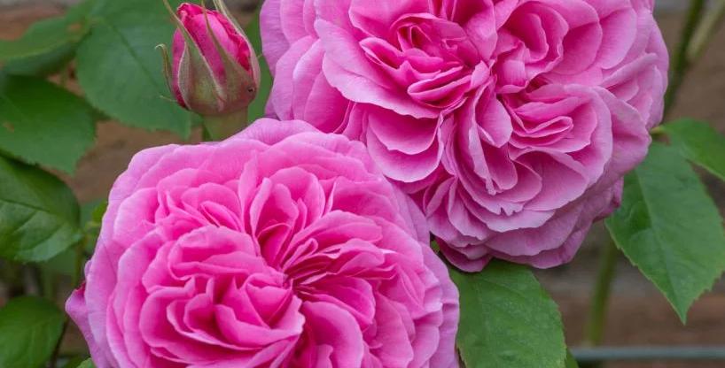 Jertrude Jekyll rosier anglais