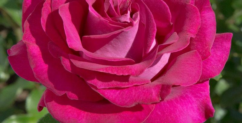 Belles Rives rosier buisson