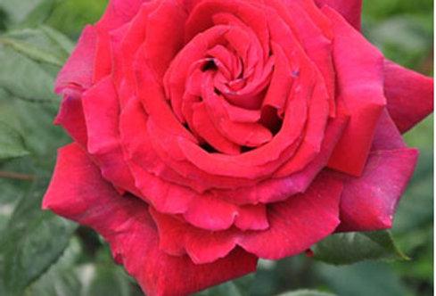 Reine des Parfums rosier buisson