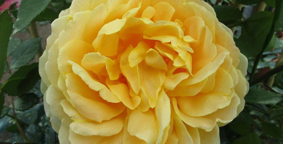 Golden célébration rosier anglais