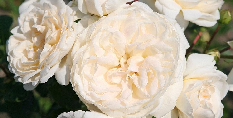 Mémoire rosier buisson