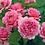 Thumbnail: Princess Alexandra of Kent rosier anglais