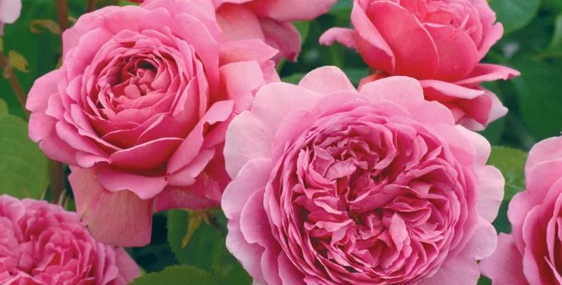 Princess Alexandra of Kent rosier anglais
