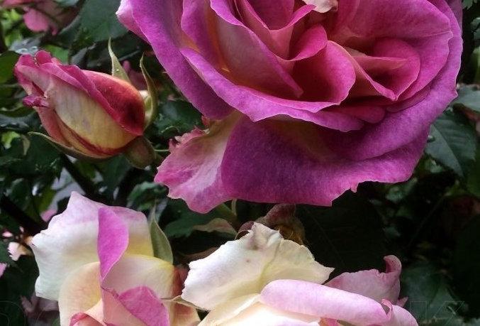 Diablesse des Mers rosier buisson