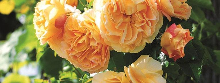 xcellence de Frontignan rosier buisson
