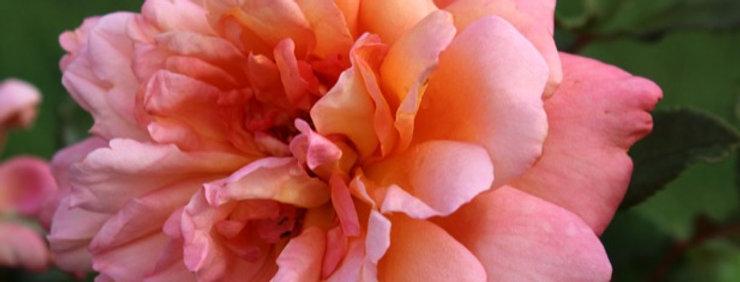 Jardin d'Entreoulet rosier buisson