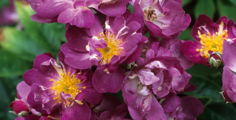 Veilchenblau rosier liane