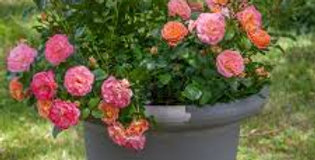 Peach Drift rosier couvre-sol