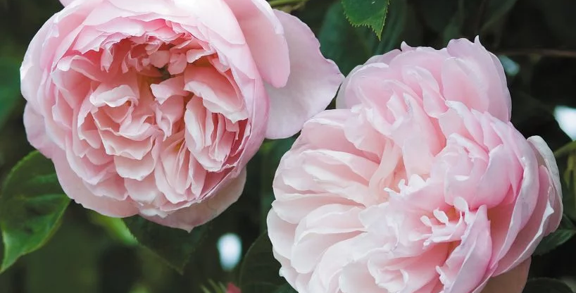 The Generous Gardener rosier grimpant anglais