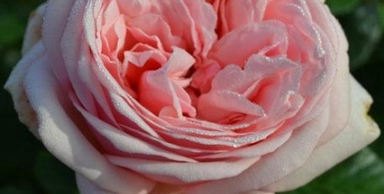 Laurette Fugain rosier buisson