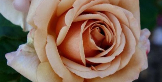 Mokarosa rosier buisson