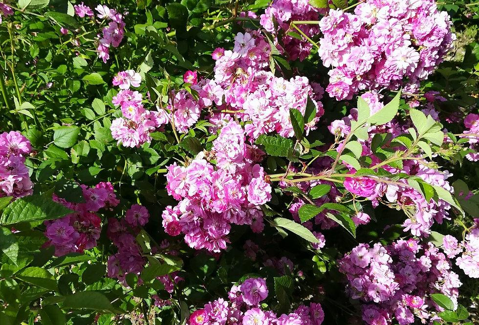 Heinrich Karsch rosier buisson ancien