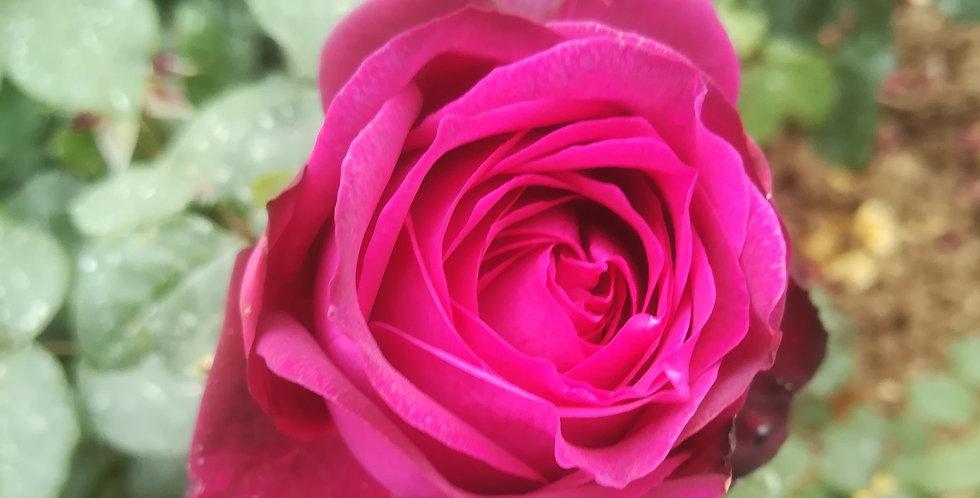 """Madame de Montespan """"Comtesse Diana"""" rosier buisson"""