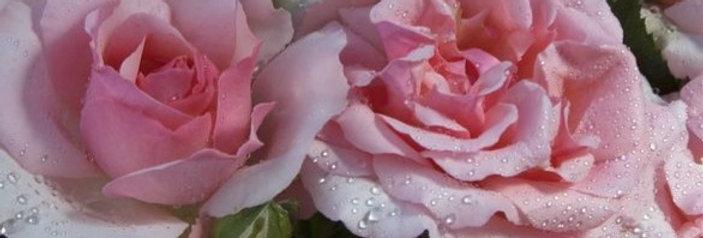 Coté Jardin rosier tige