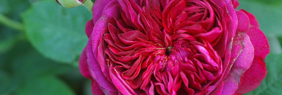 William Shakespeare 2000 rosier anglais