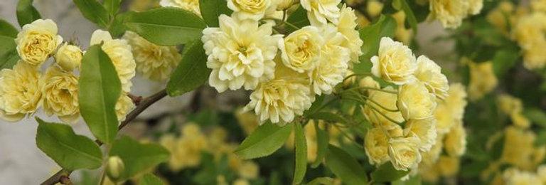 Rosa Banksiae Lutéa