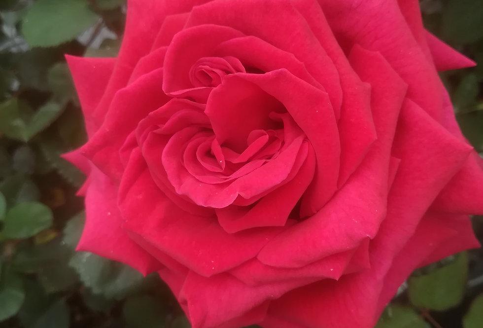 Saucillac rosier buisson