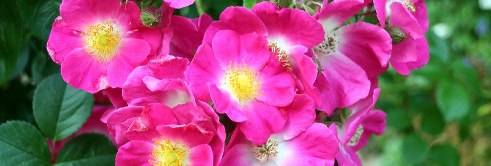 Américan Pillar rosier liane