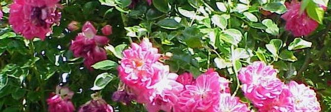 Alexandre Girault rosier liane