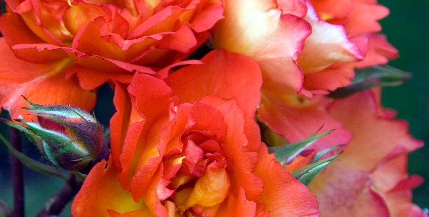 Arielle Dombasle rosier grimpant