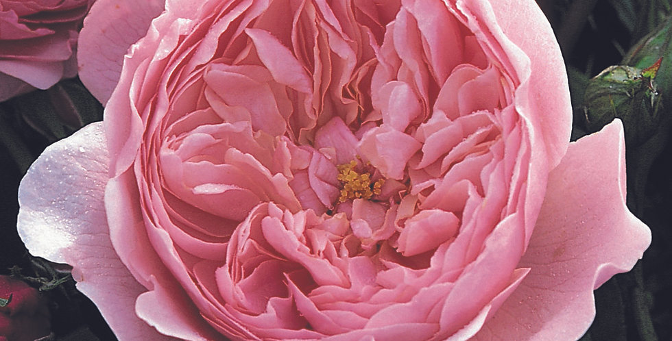 The Alnwick Rose rosier anglais