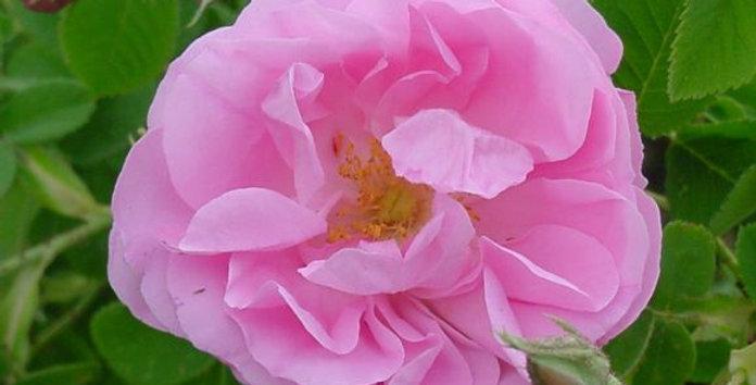 Rose de Mai rosier ancien à parfum