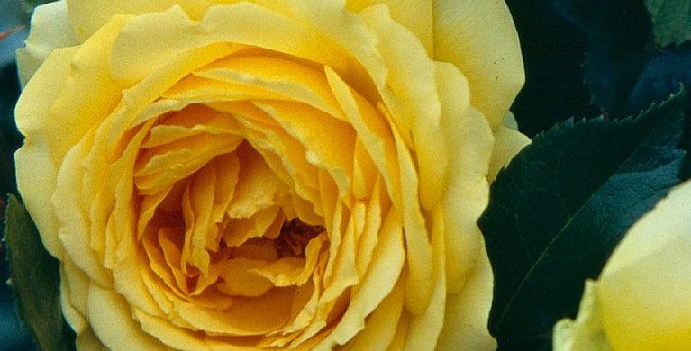 Eurostar rosier buisson