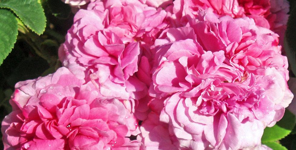 Rose des Peintres rosier ancien