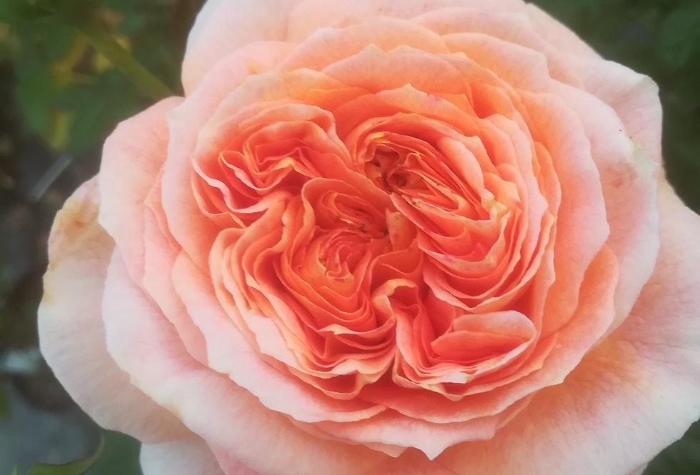 Jean-Claude Casadesus rosier buisson