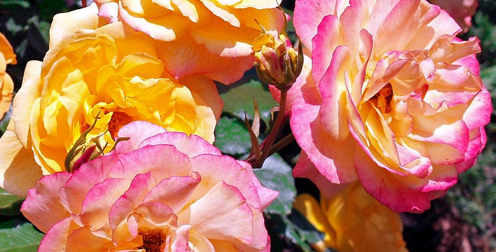 Sahara rosier paysager