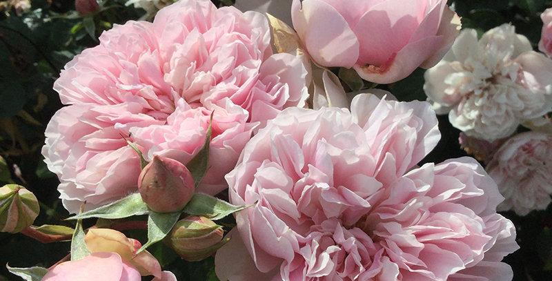 Evegardivoine rosier buisson