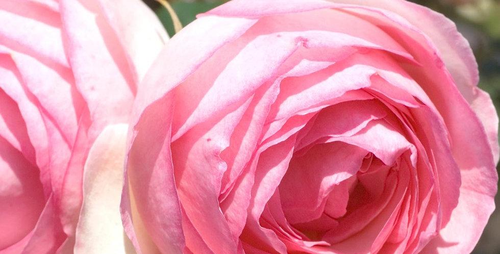 Pierre de Ronsard rosier grimpant