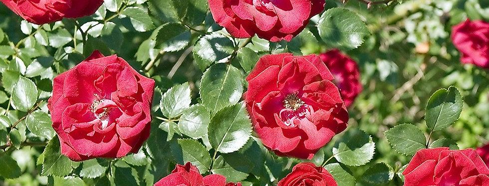 Guilande Fleurie rosier grimpant
