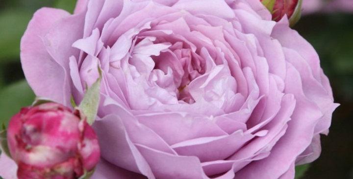Novalis rosier buisson