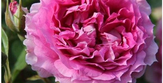 Princesse d'Orient rosier buisson