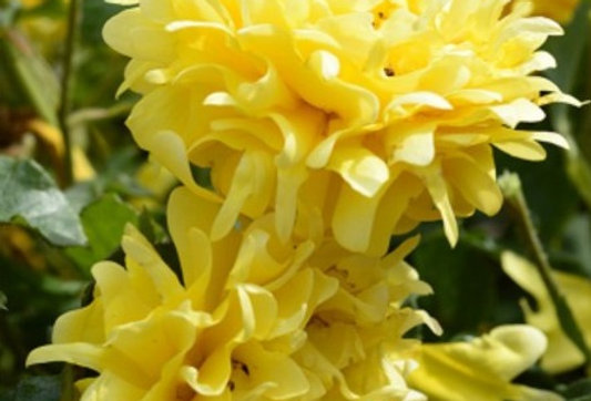 Golden Lady Ruffles rosier paysager