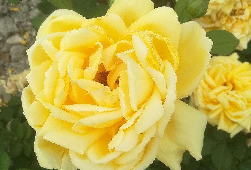 Yellow Flush rosier buisson