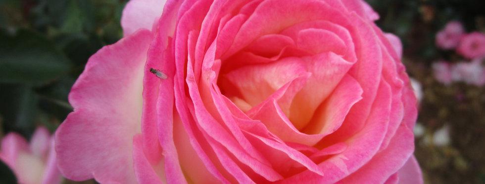 Princesse de Monaco rosier buisson
