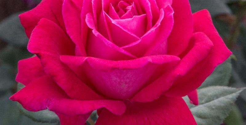 Elégance Française rosier buisson