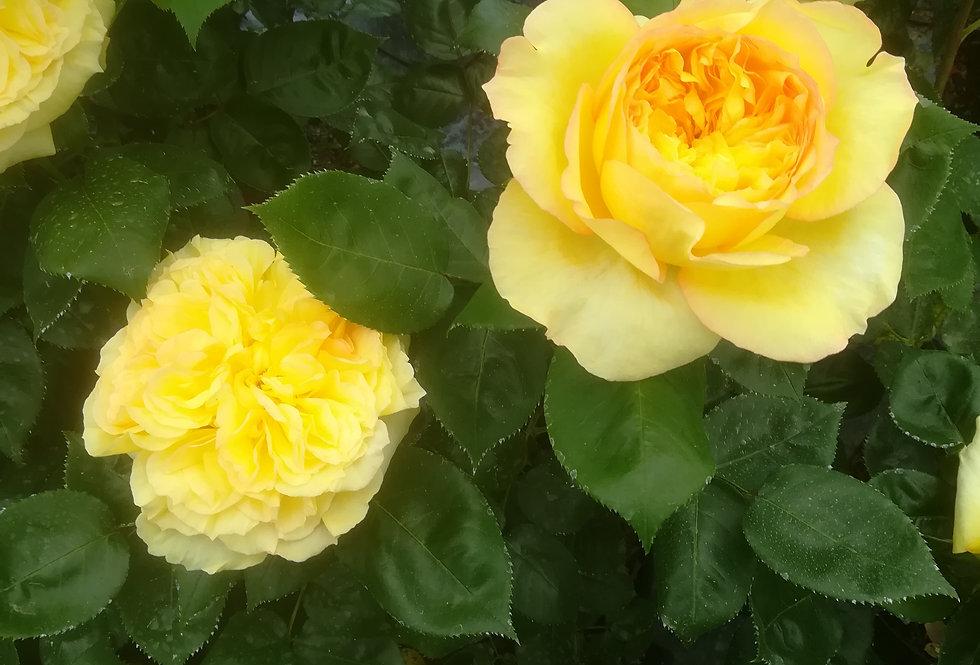 Henri Dutilleux rosier buisson
