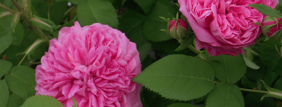 Comte de Chambord rosier ancien