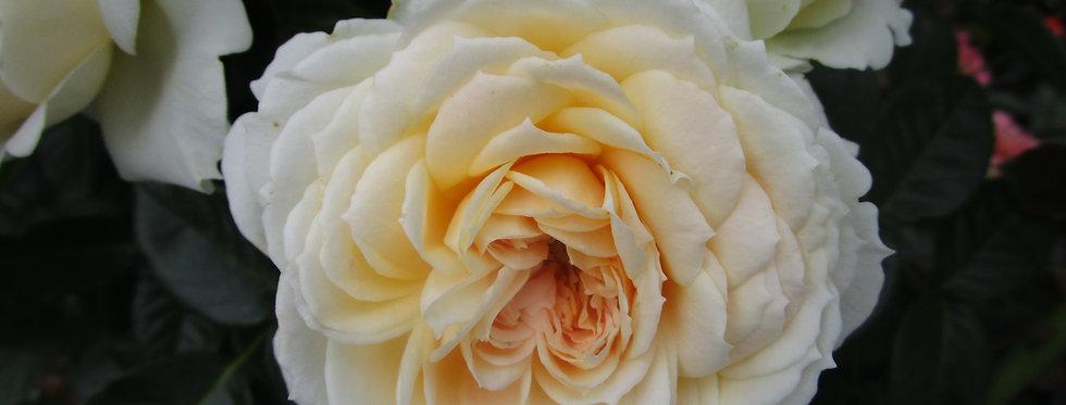 Mon Jardin Ma Maison rosier grimpant