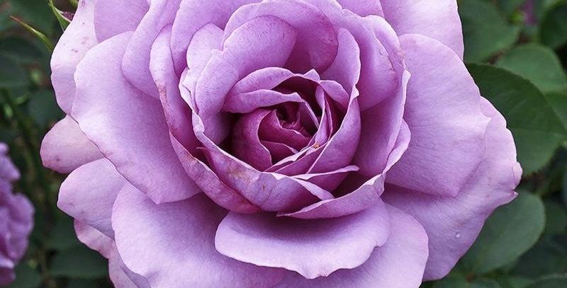 Love Song rosier buisson