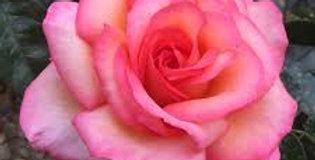 Rosa del camino de Santiago rosier buisson