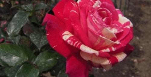 Brocéliandre rosier buisson
